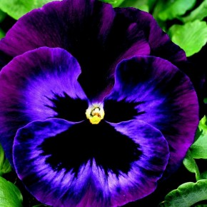 How I ditched taste and learned to love the pansy