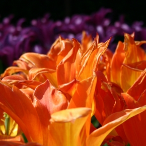 Jewels in the dirt: top tips for planting tulips