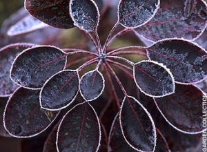 black cotinus frost