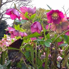 Hellebores to the fore