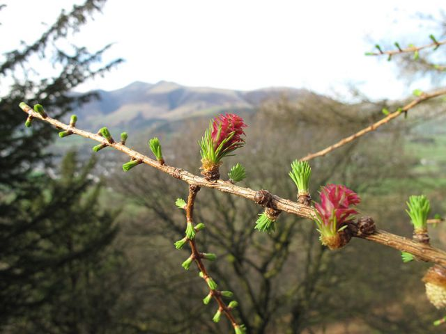 larch buds