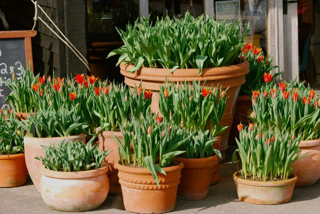 hyde spring tulips