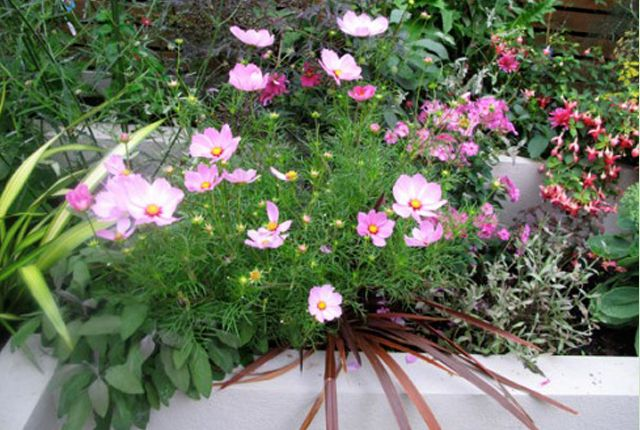 planting design styleseed cosmos