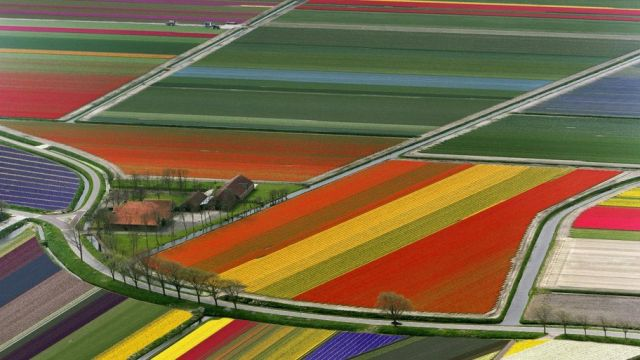 Aerial View of Tulip Flower Fields, Amsterdam, The Netherlands
