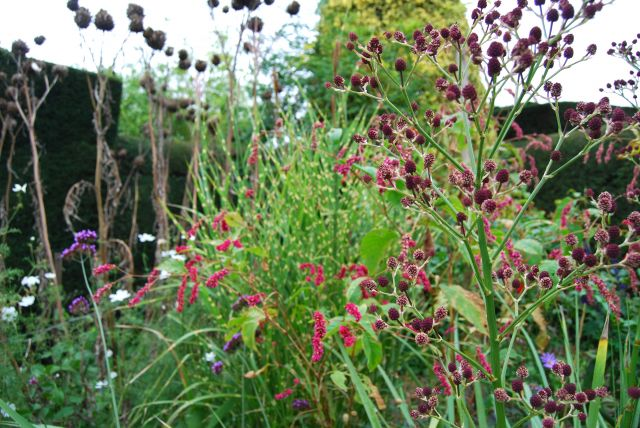 sanguisorba dixter autumn