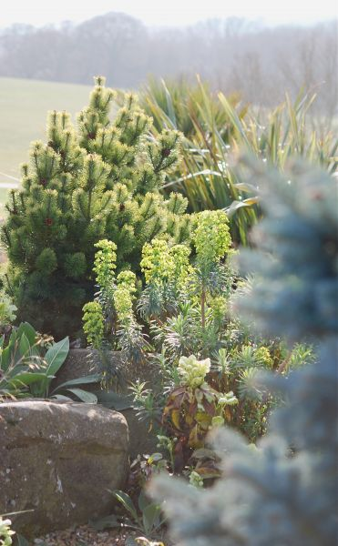 Hyde pinus and euphorbia