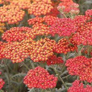 Yarrow, or Achillia 'Walther Funke' is a butterfly magnet. It needs good drainage and sun