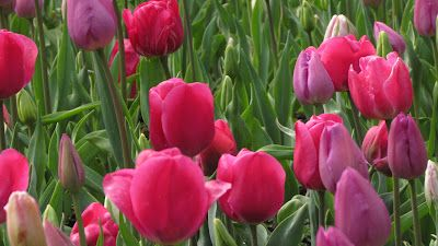 Tulip Time Pink Mix II