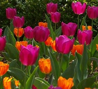 princess_irene_purple_tulips__14781.1346082798.1280.1280