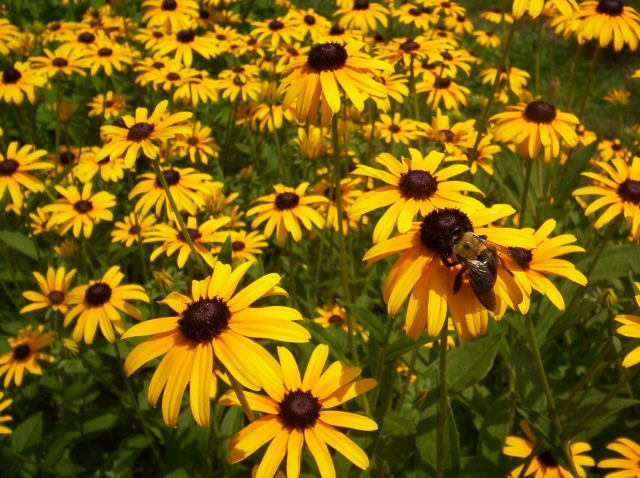 Black_Eyed_Susan_Bee_1