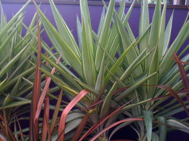 Phormium with purple wall