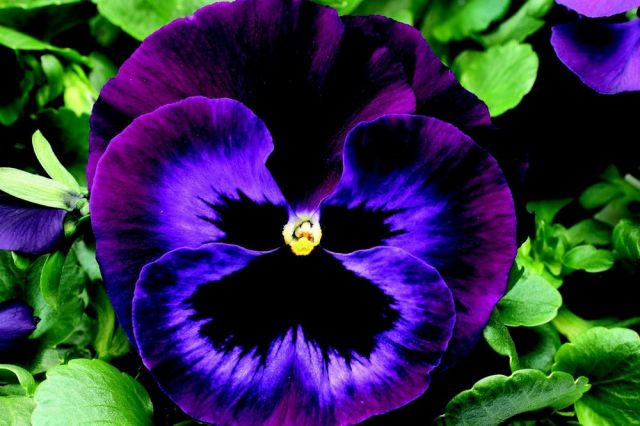 Pansy neon violet